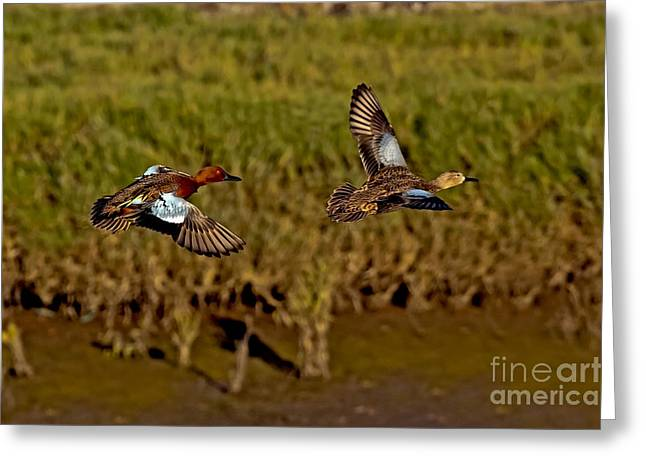 Cinnamon Teal Pair In Flight Greeting Card by Anthony Mercieca