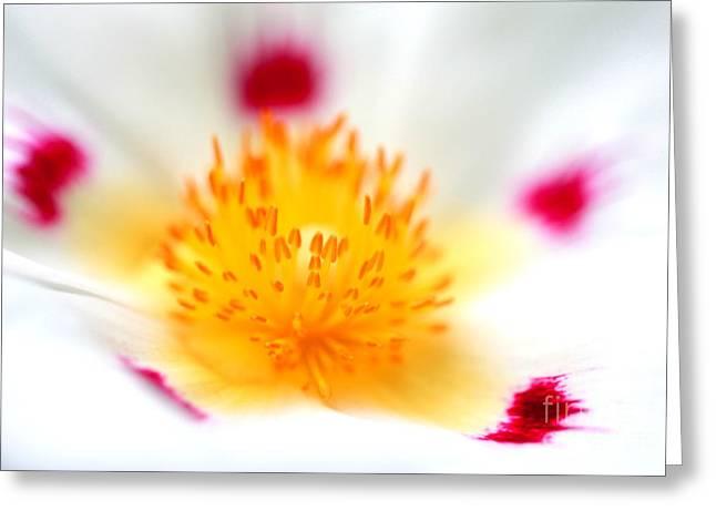 Cistus Greeting Card by Rebeka Dove