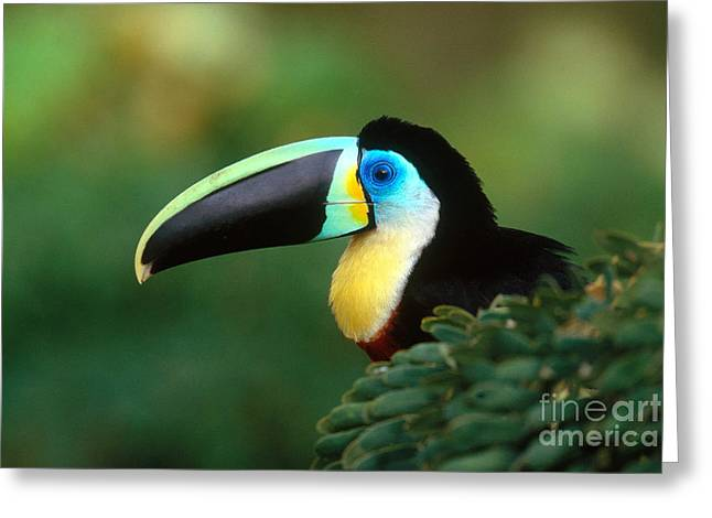 Citron-throated Toucan Greeting Card by Art Wolfe