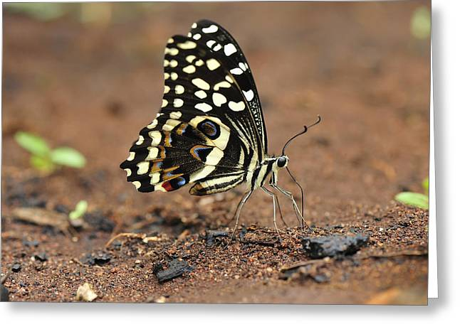 Citrus Butterfly Puddling Jozani Greeting Card by Thomas Marent