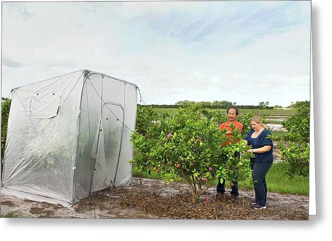 Citrus Greening Disease Treatment Greeting Card by Marco Pitino/us Department Of Agriculture