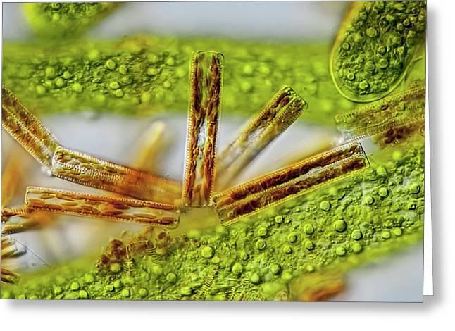 Cladophora Filaments Greeting Card