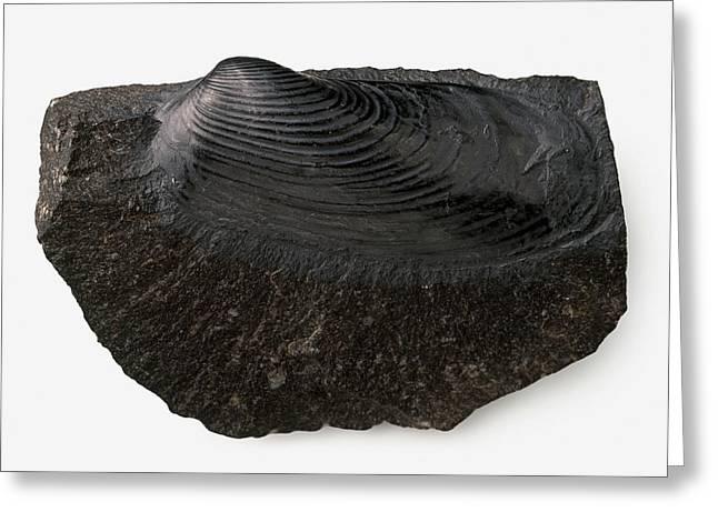 Clam Shell Fossilised In Black Limestone Greeting Card by Dorling Kindersley/uig