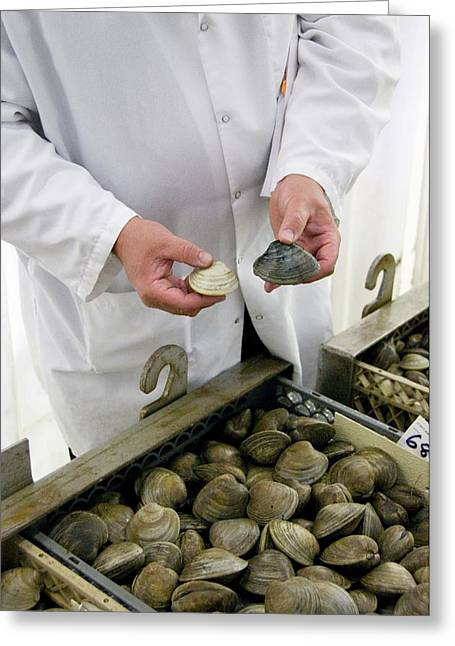 Clams Before And After Cleansing Greeting Card by Food & Drug Administration