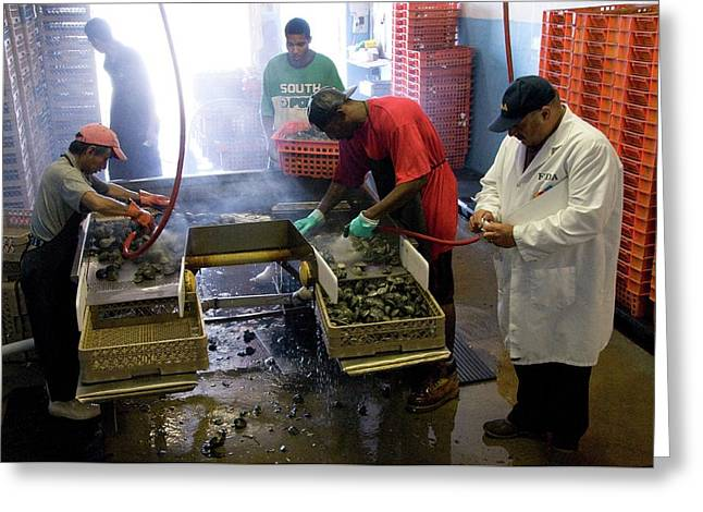 Clams Being Cleaned Greeting Card by Food & Drug Administration