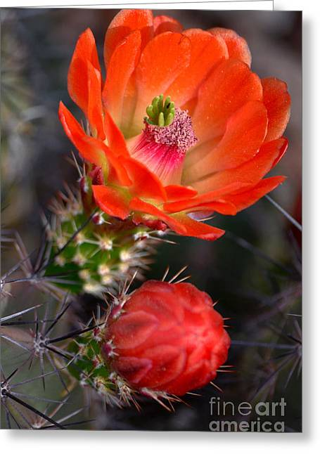 Claret Cup Cactus Greeting Card
