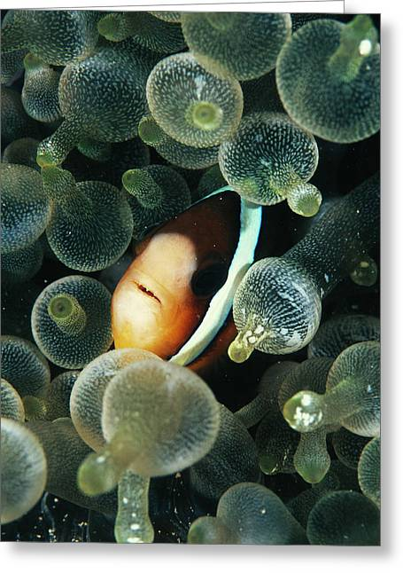Clark's Anemonefish Greeting Card by Matthew Oldfield/science Photo Library