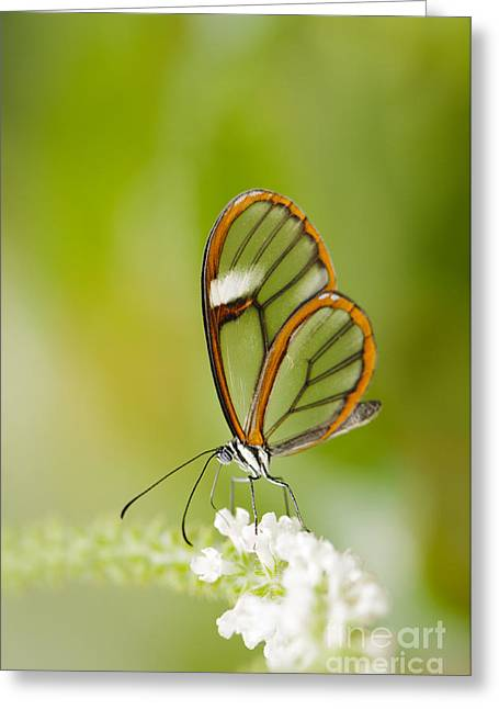 Clear Wing Butterfly On White Flower Greeting Card by Oscar Gutierrez