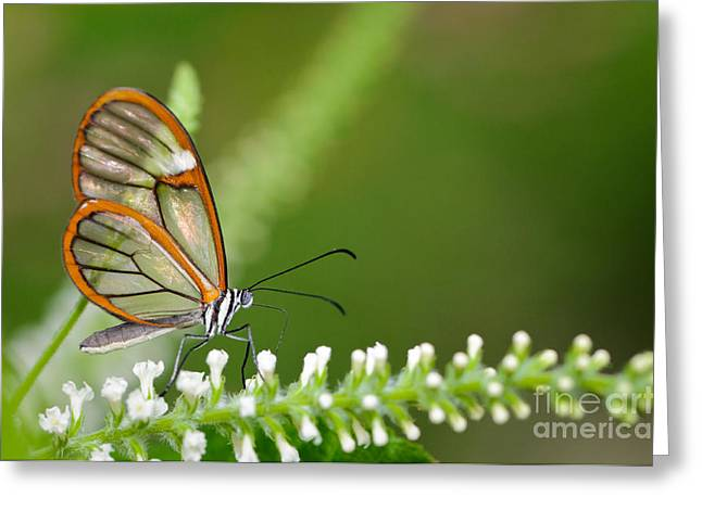 Clearwing Butterfly Greta Oto Greeting Card