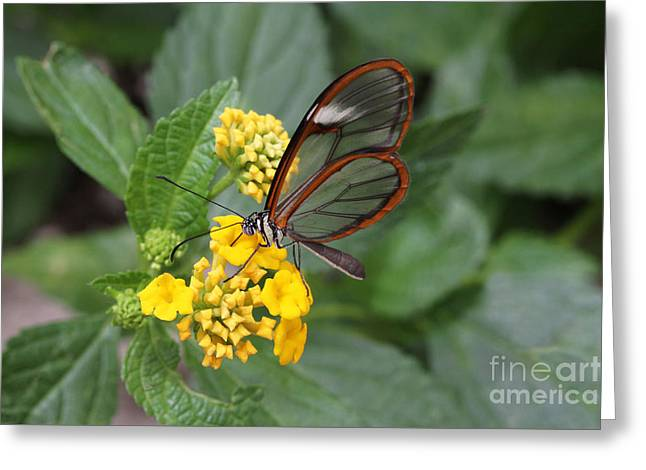 Clearwing Butterfly Greeting Card