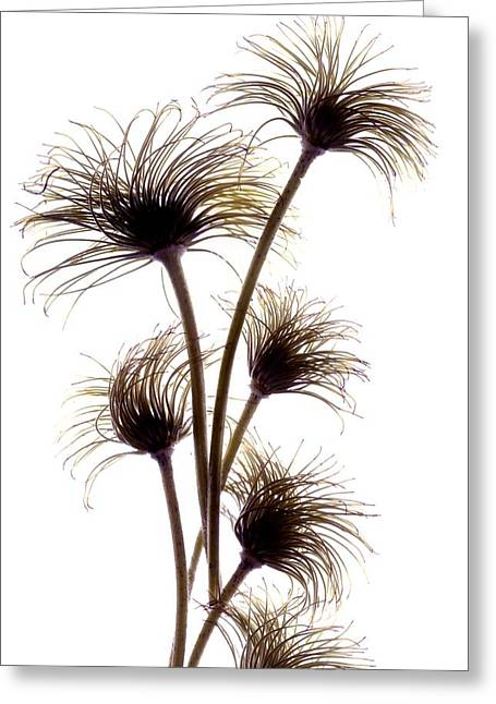 Clematis Buds Greeting Card by Julia McLemore