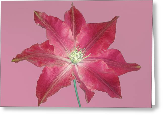 Clematis In Gentle Shades Of Red And Pink. Greeting Card by Rosemary Calvert