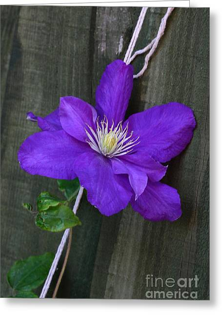 Greeting Card featuring the photograph Clematis On A String by Jeremy Hayden