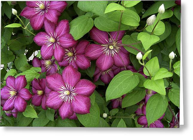 Greeting Card featuring the photograph Clematis by Penny Lisowski