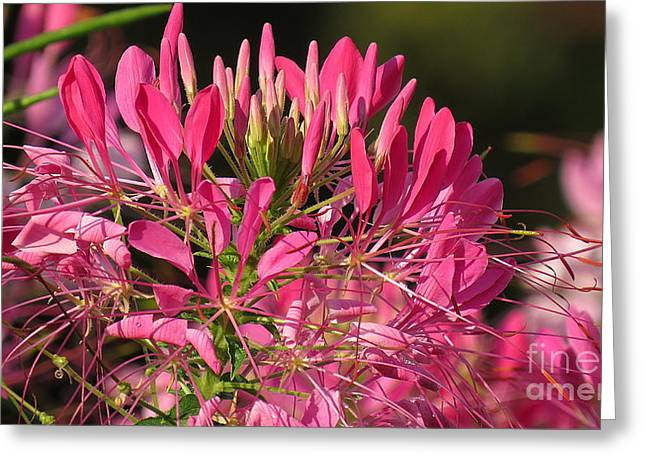 Cleome 26 Greeting Card by France Laliberte