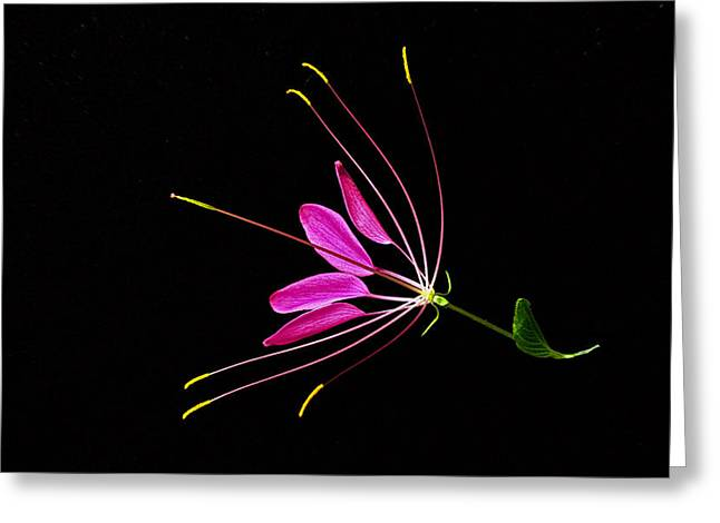 Cleome Blossom 2 Greeting Card by Douglas Barnett