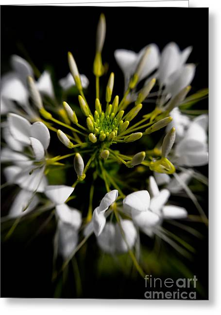 Cleome In Bloom Greeting Card by Venetta Archer