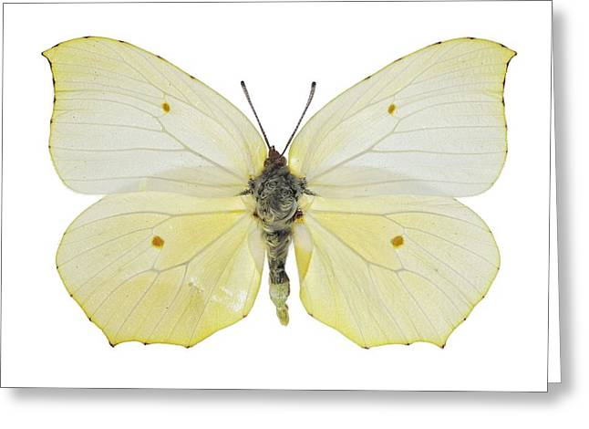 Cleopatra Butterfly Greeting Card