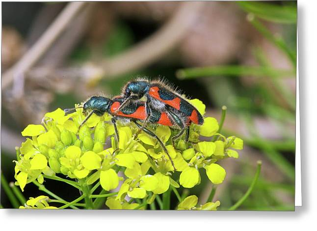 Clerid Beetles Mating On A Flower Greeting Card by Bob Gibbons