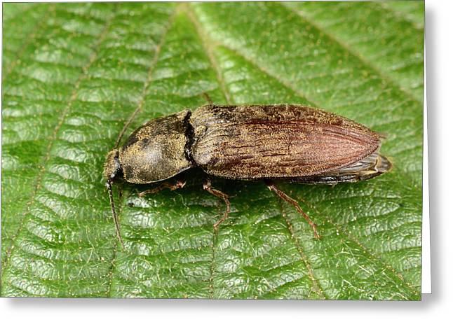 Click Beetle Greeting Card by Nigel Downer