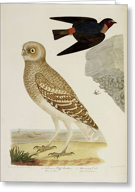 Cliff Swallow And Burrowing Owl Greeting Card by British Library