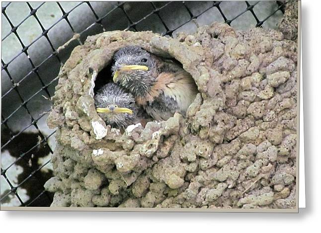 Cliff Swallow Babies Greeting Card by I'ina Van Lawick