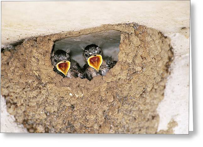 Cliff Swallow Chicks Greeting Card by Paul J. Fusco
