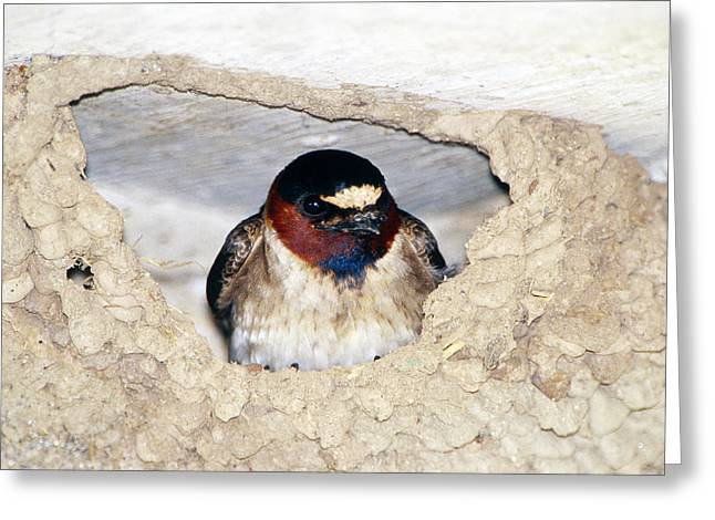 Cliff Swallow In Its Nest Greeting Card by Paul J. Fusco