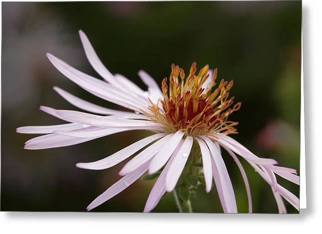 Greeting Card featuring the photograph Climbing Aster by Paul Rebmann