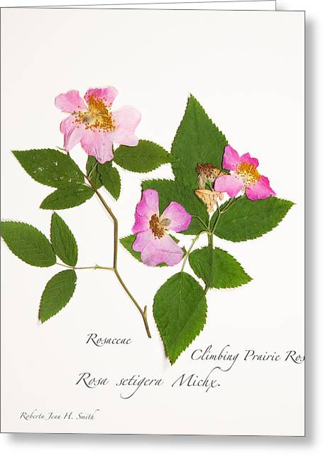 Climbing Prairie Rose  Greeting Card