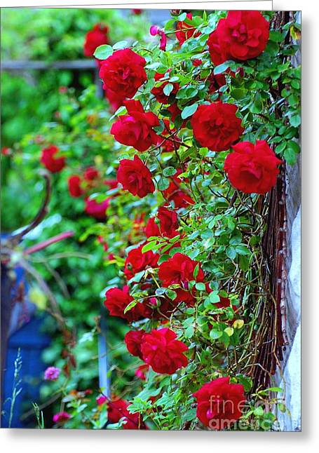 Climbing Red Roses Greeting Card by C Lythgo