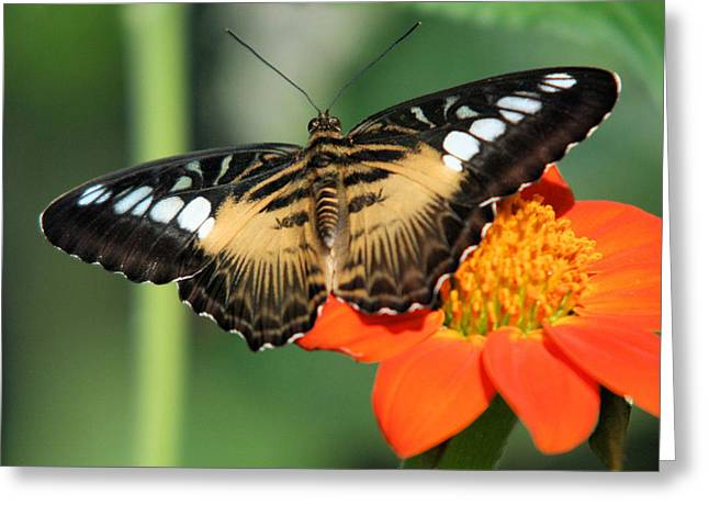 Clipper Butterfly On Flower Greeting Card