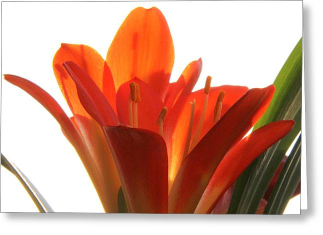 Greeting Card featuring the photograph Clivia by Jivko Nakev