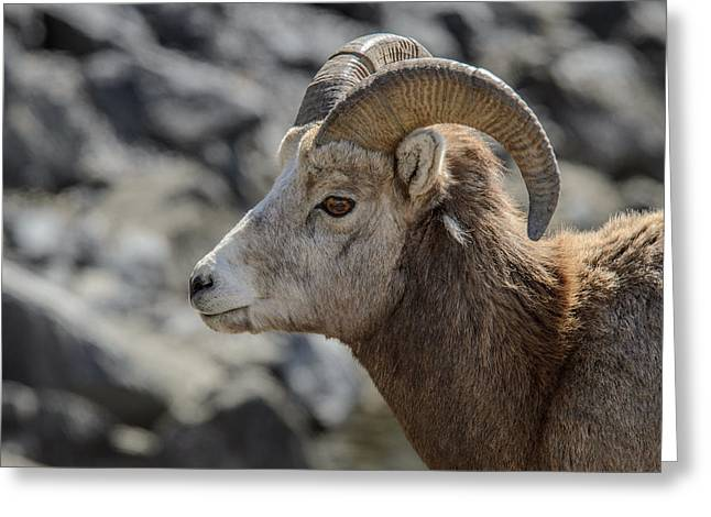 Close Big Horn Sheep  Greeting Card
