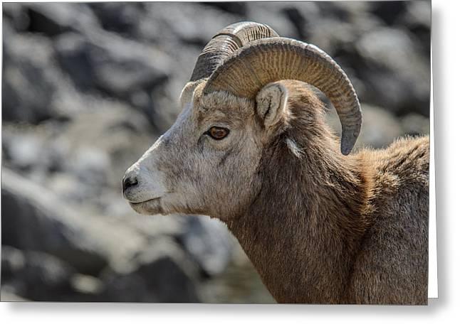 Close Big Horn Sheep  Greeting Card