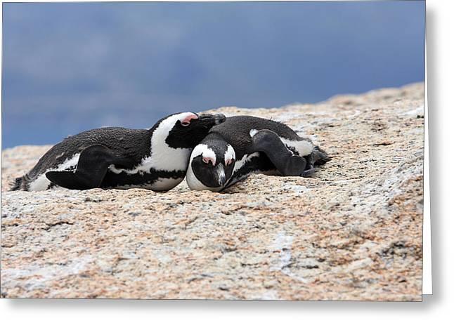 Close Bonds, African Penguin Greeting Card