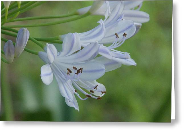 Close Up - African Lily Greeting Card by Annette Allman