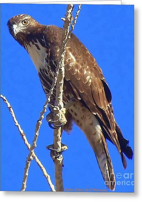 Hawk Close Up  Greeting Card
