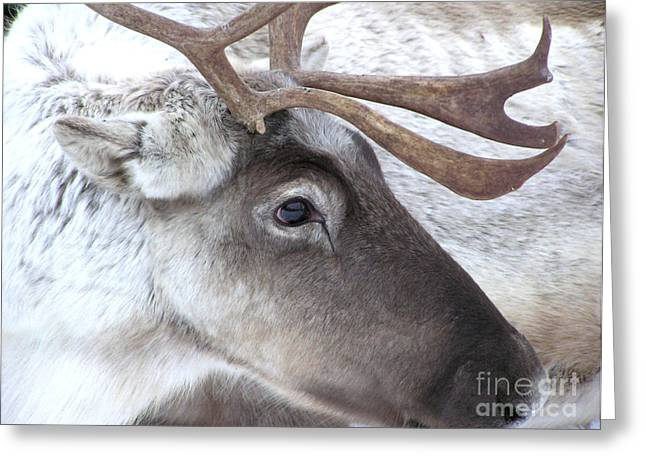 Close-up Caribou Reindeer Greeting Card by Sylvie Bouchard