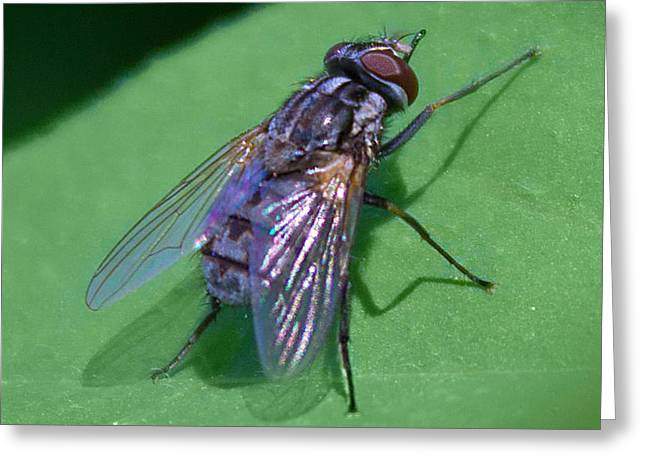 Close Up Fly Greeting Card