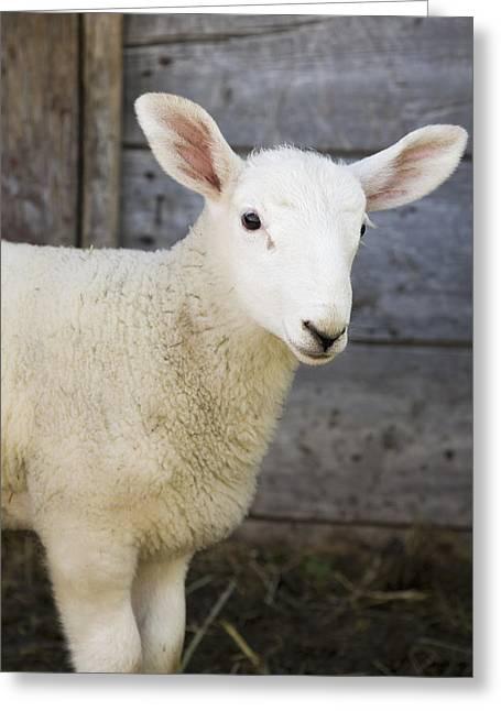 Close Up Of A Baby Lamb Greeting Card