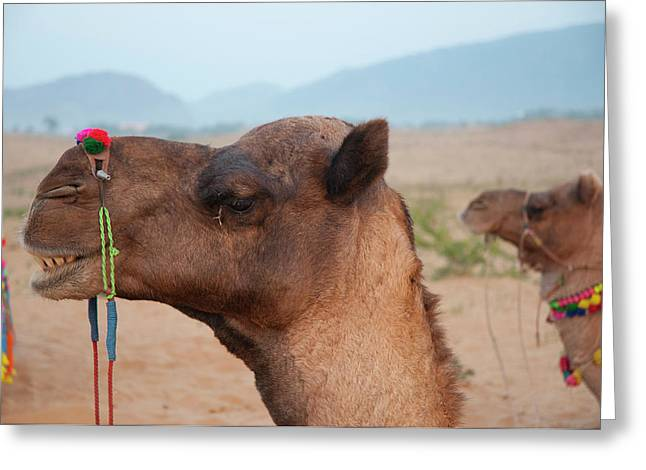 Close-up Of A Camel, Pushkar Greeting Card by Inger Hogstrom