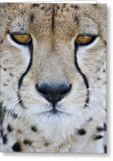 Close-up Of A Cheetah Acinonyx Jubatus Greeting Card by Panoramic Images