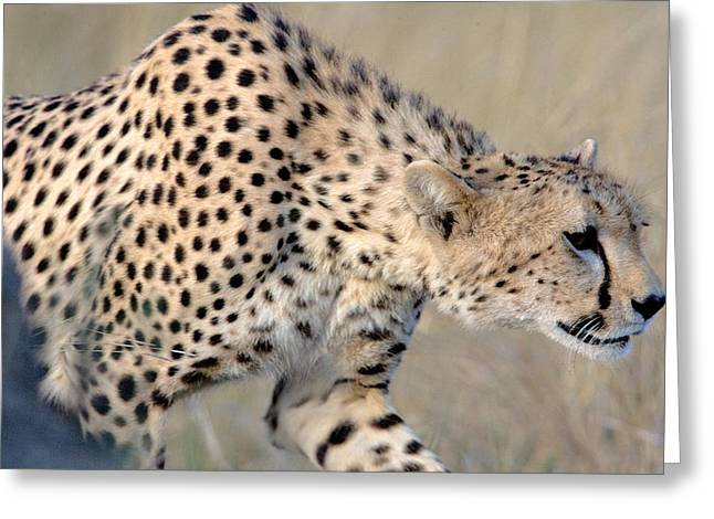 Close-up Of A Cheetah, Ngorongoro Greeting Card by Panoramic Images