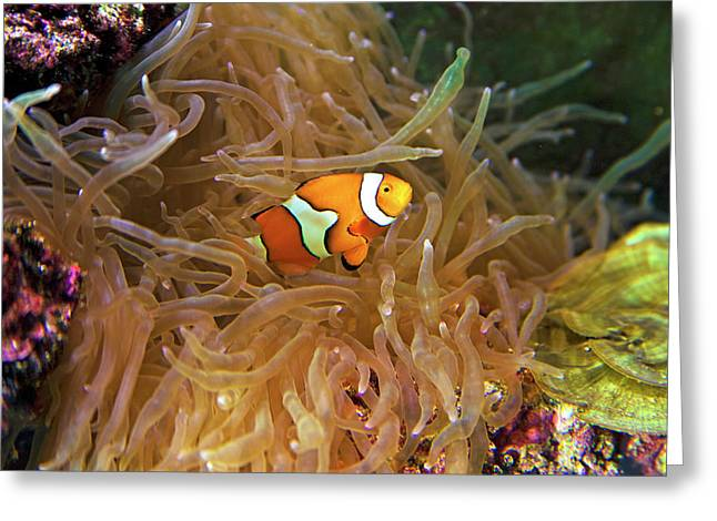 Close Up Of A Clown Fish In An Anemone Greeting Card