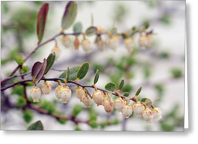 Close Up Of A Flowering Leatherleaf Greeting Card