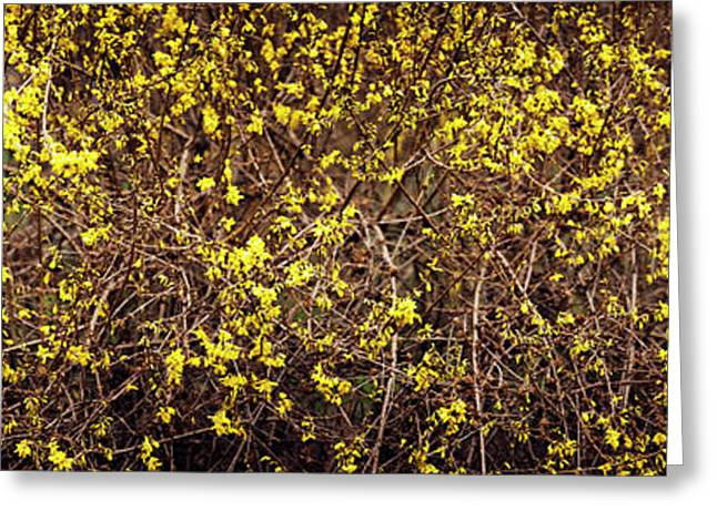 Close-up Of A Forsythia Flowers, North Greeting Card by Panoramic Images