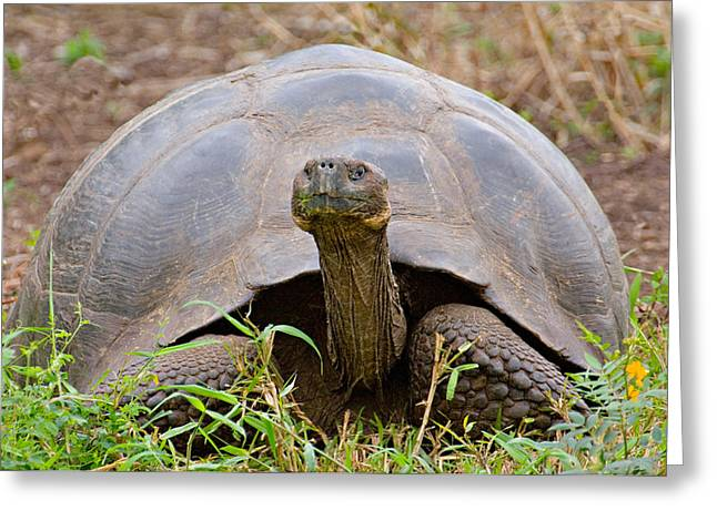 Close-up Of A Galapagos Giant Tortoise Greeting Card by Panoramic Images
