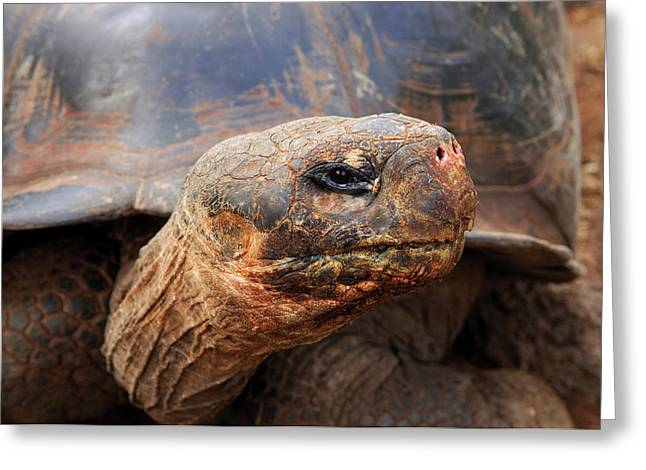 Close Up Of A Galapagos Tortoise, Giant Greeting Card by Miva Stock