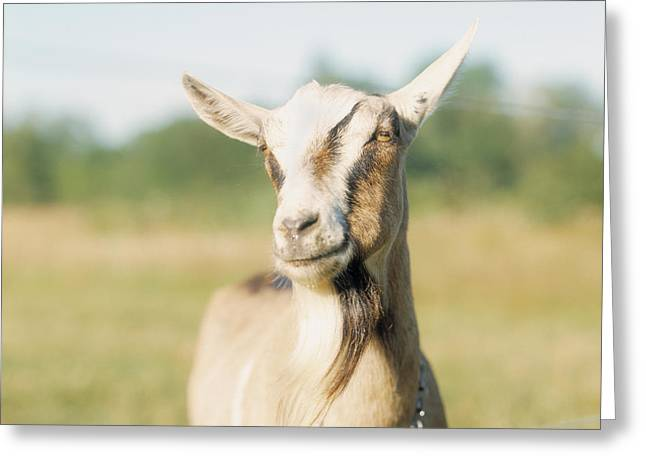 Close-up Of A Goat, Goat Cheese Farm Greeting Card